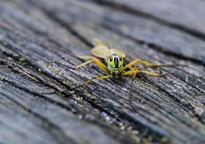 Insekt-Wurmlöwe-Fliegenart
