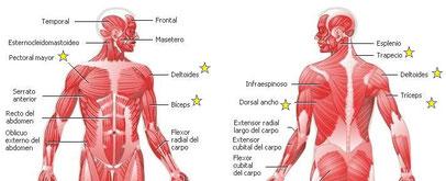 Músculos a estirar y fortalecer