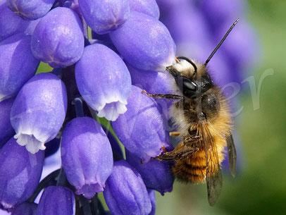 Bild: Rostrote Mauerbiene, Osmia bicornis, Männchen an der Traubenhyazinthe