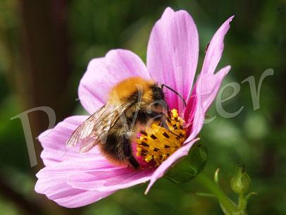 Bild: Hummel, Bombus spec., auf einer Cosmeenblüte