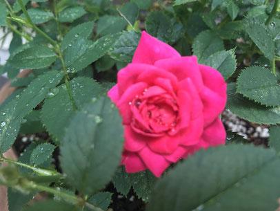 癒しの和エステ「心美」の庭のミニバラ