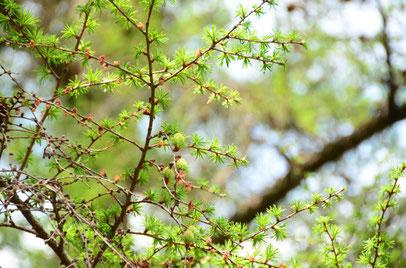 キューガーデン ウォルナットの花