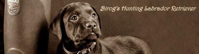 Birogs Hunting Labrador