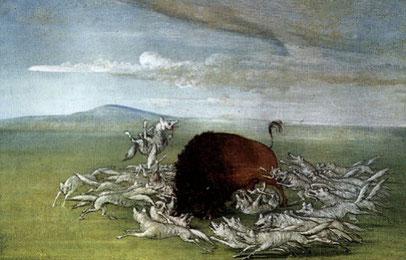 Waidwunde Bisons, die den Jägern entkamen, wurden oft eine Beute der Wölfe - aber nicht ohne Gegenwehr. Ein Bison kämpfte noch weiter, nachdem die Wölfe ihm Augen, Nase und die Zunge herausgerissen und seine Beine zerfleischt hatten.