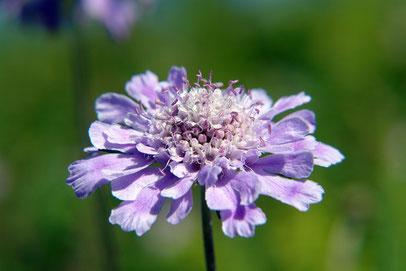マツムシソウ  APG植物分類体系ではスイカズラ科です