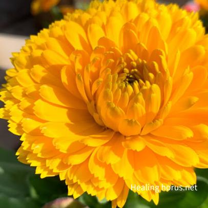 キンセンカの花