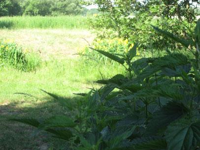Brennesseln zeigen mit ihren Standorten stickstoffreiche Böden an