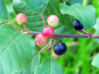 Nahrungspflanze der Raupen: der Faulbaum (Foto: naturgucker.de [A. Baumert])