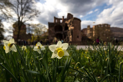 Frühling im Heidelberger Schlossgarten