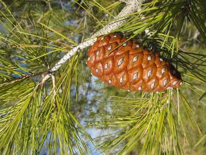 Árbol piñonero de la Sierra de Mariola (Comunidad Valenciana)