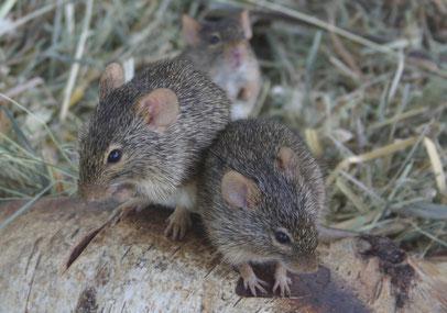 Die Neumanns Grasratte (A. neumanni) ist die kleinste Arvicanthis-Art