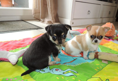 chihuahua chiot chien