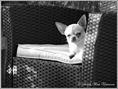 chihuahua lof south west unicorn