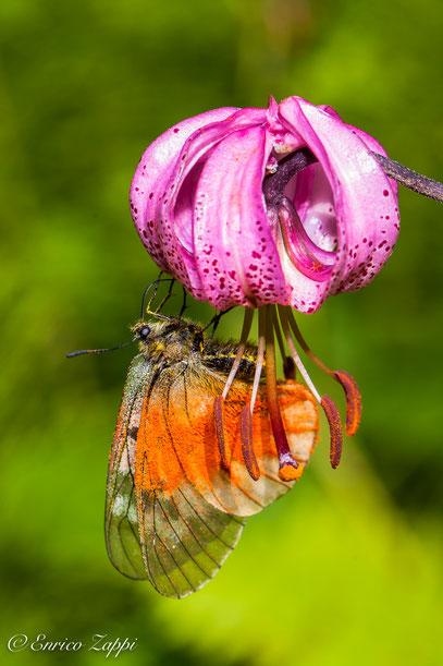 Giglio Martagone e Parnassius Mnemosine con le ali piene di polline del giglio stesso.