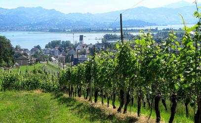 Reben am Zürichsee. Ein typischer Rebberg in der Schweiz. Bestockt mit Pinot Noir und Müller-Thurgau