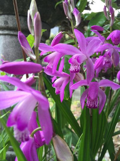 シランの花 花は正しく蘭の形をしている 手間要らずでこんなに綺麗な花が咲くなんてお徳!!