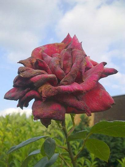 KEINE ROSE IST KEINE ROSE IST KEINE ROSE 1 (c) De Toys, 11.7.2013 @ Alt-Eller
