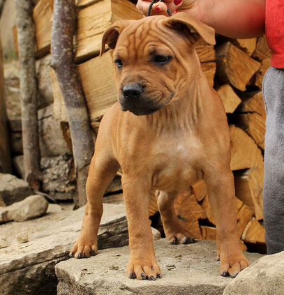 STAFFORDSHIRE BULL TERRIER CUCCIOLO PUPPY RED FULVO ROSSO , STAFFY PROJECT STAFF KENNEL