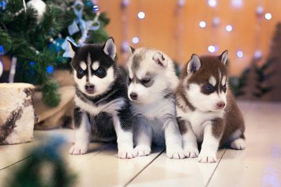Siberian_Husky, Siberian Husky, щенки хаски, сибирские хаски