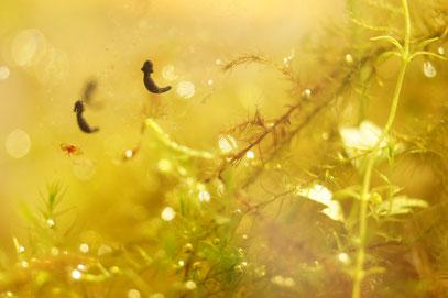 外よりかなり水温が高いので、成長がすこぶる早い。外の厳しさを知らん温室育ちめ!