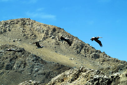 Vier Pelikane im Flug über der Insel Pan de Azucar