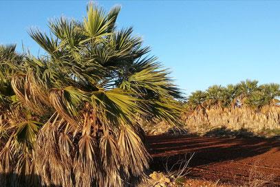 Durch Palmenhecken geschützte Anbauflächen