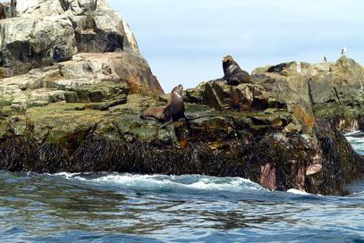 Seelöwen auf den Klippen