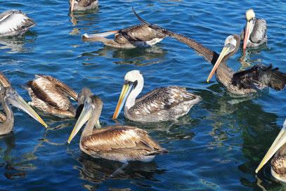 Pelikane in der Bucht von Guanaqueros