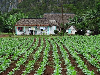 Farmhaus mit Tabakfeld im Valle de Viñales