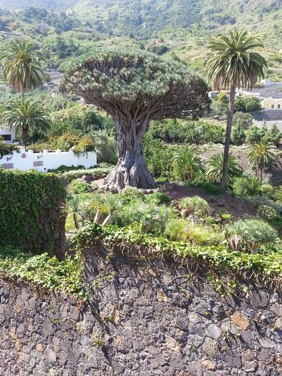 Drachenbaum in Icod