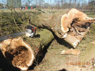 Fällungen von mehreren bruchgefährdeten Pappeln in Alveslohe 2014