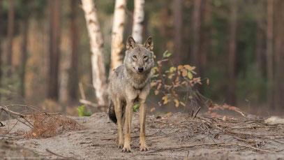 Wolf, Sachsen 06.10.2018