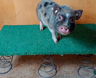 Kleine Schweinerasse