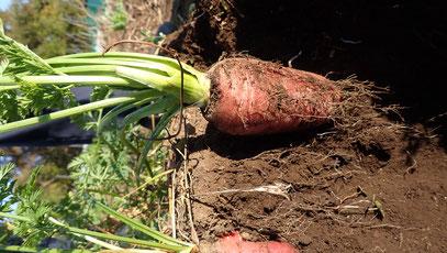 無農薬栽培ニンジン固定種の種取り@自給のための野菜作り教室・さとやま農学校