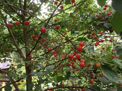 """Un de nos arbres fruitiers qui à 8 ans """"un Cerisier de Montmorency"""" déjà généreux."""