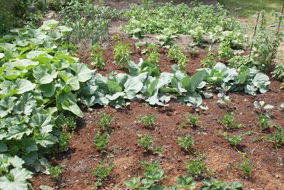 Gemüsefeld 1 vorne Erdbeeren , Knollenselerie, Spitzkraut Blau, Spitzkraut grün, rechts mitte Physialis, mitte Chilis, dahinter Melanzani, dahinter Yacon, links hinten Poree, 2 reihen Erdäpfel, und ganz hinten der Erdwall ist Spargel,links Bratkürbisse