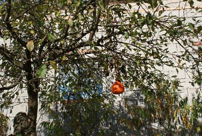 Der Kürbisbaum trägt auch wieder Früchte
