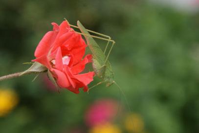 Heupferd auf Rose