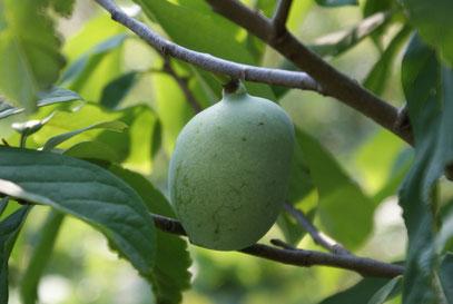 Die Papaus haben schon ordentlich zugelegt ähneln immer mehr Mangos