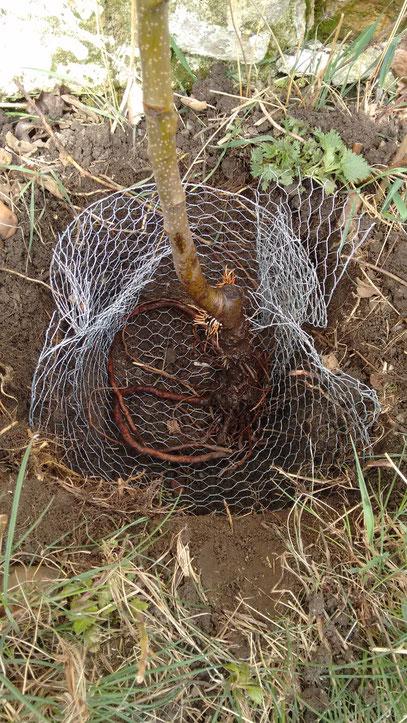 Obstbaum Nashibirne mit Wühlmausschutzgitter