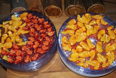Pikante Paprika bereit zum Trocknen