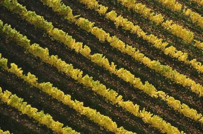 Karin - Herbstfärbung im Weingarten (nicht bewertbar)