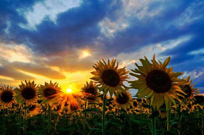 Foto 2 - Sommer, Sonne, Sonnenblumen