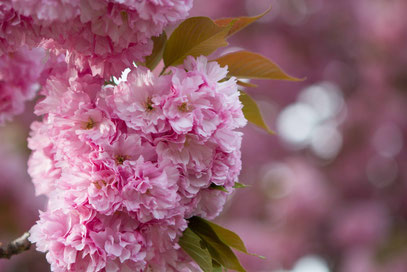 Raffaela - Foto 1 - Kirschblüten