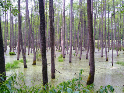 """Ein sumpfiges Waldstück nahe der """"Wolfsschanze"""""""