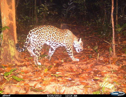 Observation du Jaguar Nature de Guyane