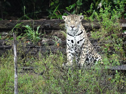 jaguar petit saut