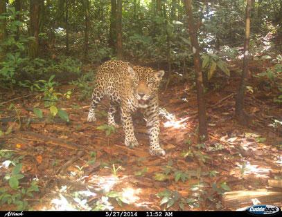 Jaguar Petit Saut randonnée Guyane