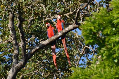 Aras Lac de Petit Saut Nature de Guyane