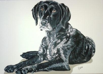 Hundeporträt, Acryl auf Leinwand, 50x70 cm, Fotovorlage: © DoraZett, Fotalia. Grauer Jagdhund liegend. Ganzkörperporträt: Hund schaut den Betrachter an. Hundekopf mit hellen Augen und braungrauer Nase liegt neben den Vorderpfoten.